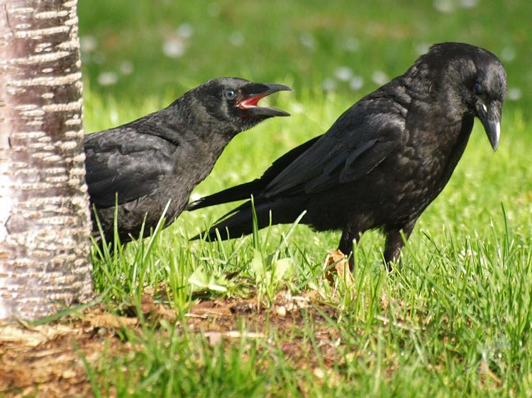 Slightly older crow with slate-colored eyes - ©ingridtaylar