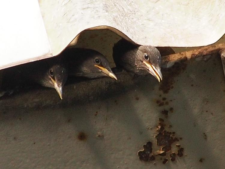 Starling Nestlings - ©ingridtaylar