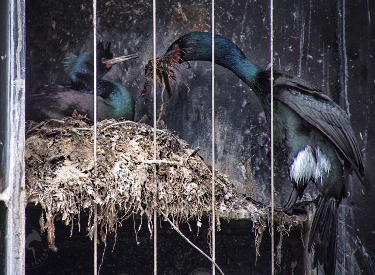 Pelagic Cormorants Building Nest in Washington