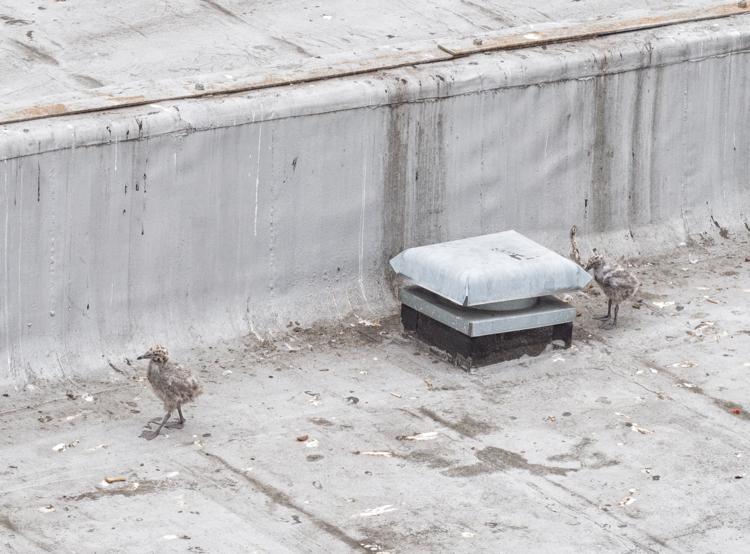 Seagull chicks on Seattle rooftop