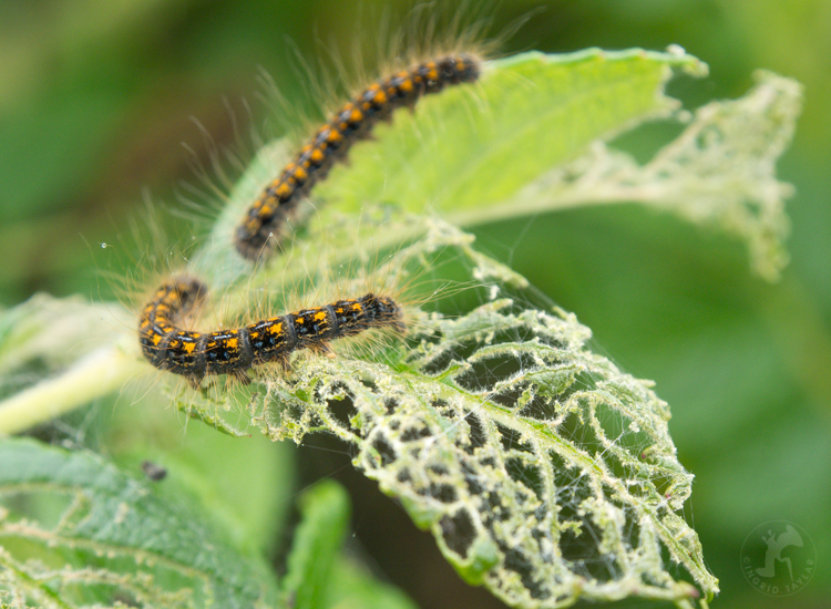 Tent Caterpillars Feeding - ©ingridtaylar