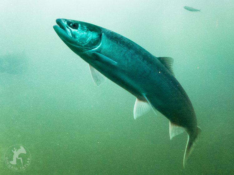 Sockeye Salmon Run in Seattle