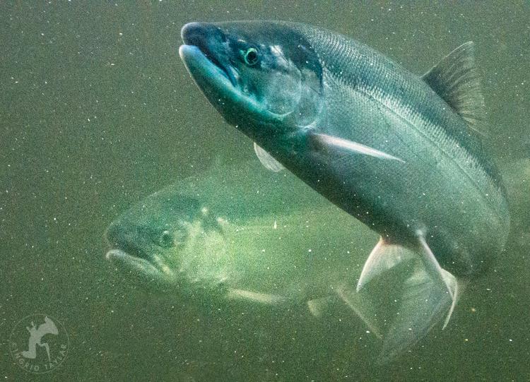 Sockeye Salmon at Hiram M. Chittenden Locks