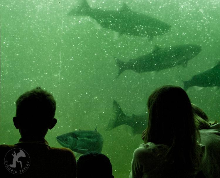 Children Viewing Salmon at Ballard Locks