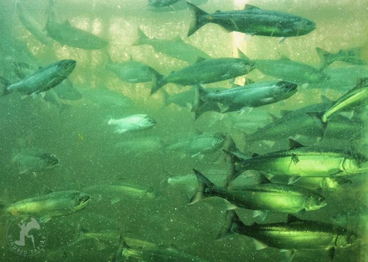 Sockeye Salmon Run at Ballard Locks