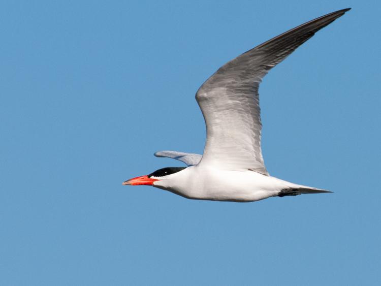 Caspian Tern over Elliott Bay seattle
