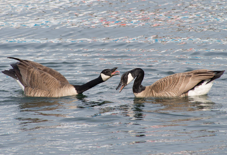 Canada Goose Pair on Elliott Bay