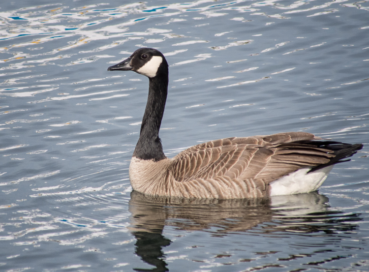 Canada Goose at Smith Cove Seattle