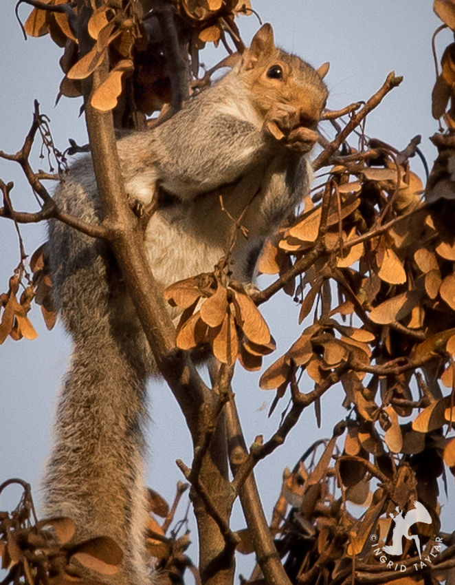 Squirrel eating Maple seeds in Seattle