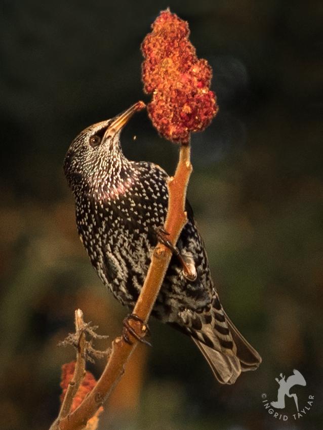Autumn Starling