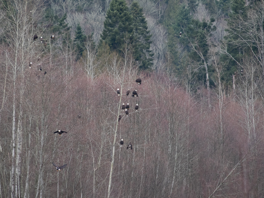 Nooksack Eagle Trees