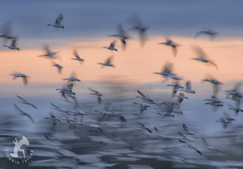 Snow Goose Wing Blur