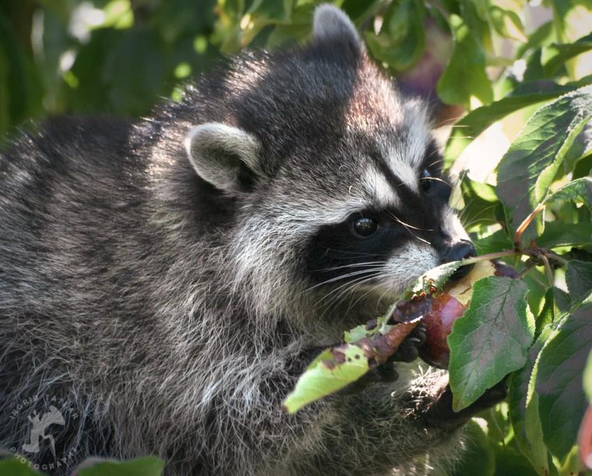 WB-Raccoon Family Tree 4