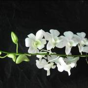 White-Orchids-Flowers