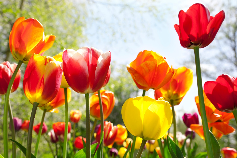 large tuli[