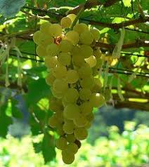 Chenin Blanc, raw material for great white wines from The Swartland