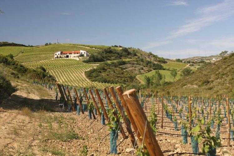 Quinta da Murta vineyards in DOC Bucelas - on Lisbon's doorstep