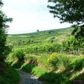 Leafy lane through the Kaiserstuhl vineyards