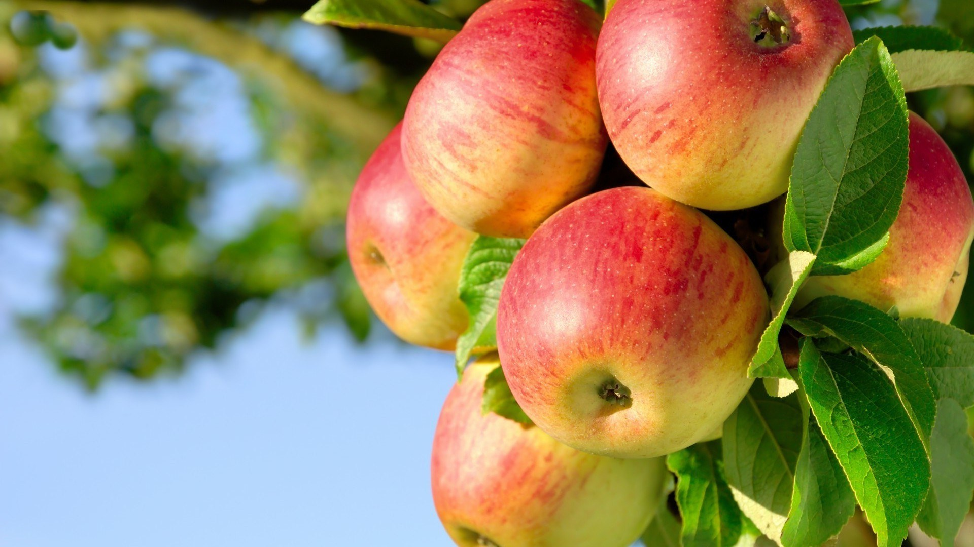 Apple Tree Widescreen Hd Wallpapers Free Download Apple Images