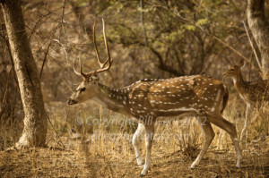 A Chittal, Spotted Deer in Ranthambore