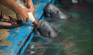 Baby manatees nursing on a bottle of formula