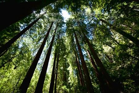 Redwood grove, Muir Woods