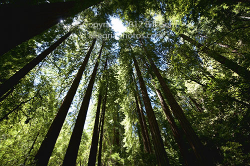 Photographing the canopy in Muir Woods