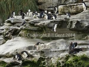 Rockhopper penguins leap off ledges to reach the water, The Neck, Saunders Island, Falkland Islands