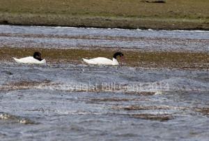 Black-necked swans on the freshwater pond, Bleaker Island
