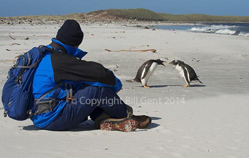 Gentoo penguins on the beach, Sea Lion Island