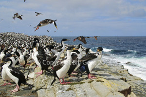 Imperial shags along the clifftops, Sea Lion Island, Falkland Islands
