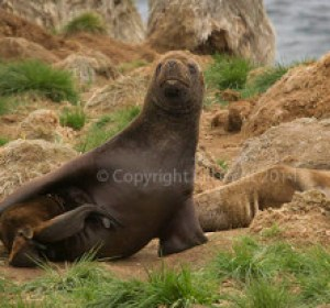 Male southern sea lion in the tussac