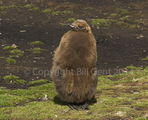 Brown powder puff Juvenile King Penguin