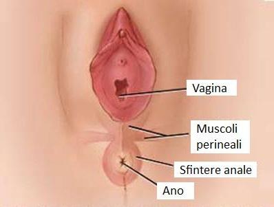 foto-muscoli-perineali[1]