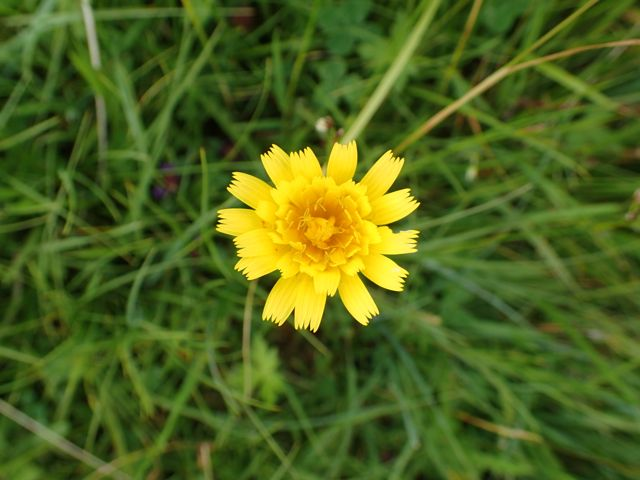 Mouse-ear-Hawkweed