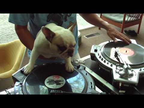 DJ Greyboy's french bulldog DJ MAMA