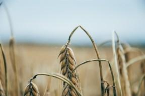 desereted wheat field