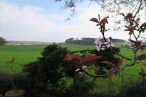 Kirschblüte in Schwitten