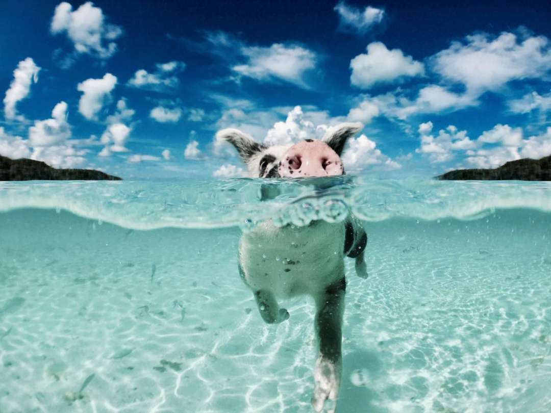 swimming-pigs-in-the-bahamas
