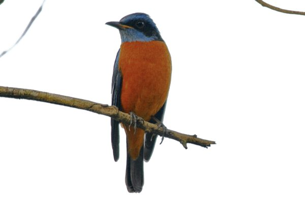 Blue Capped Rock Thrush