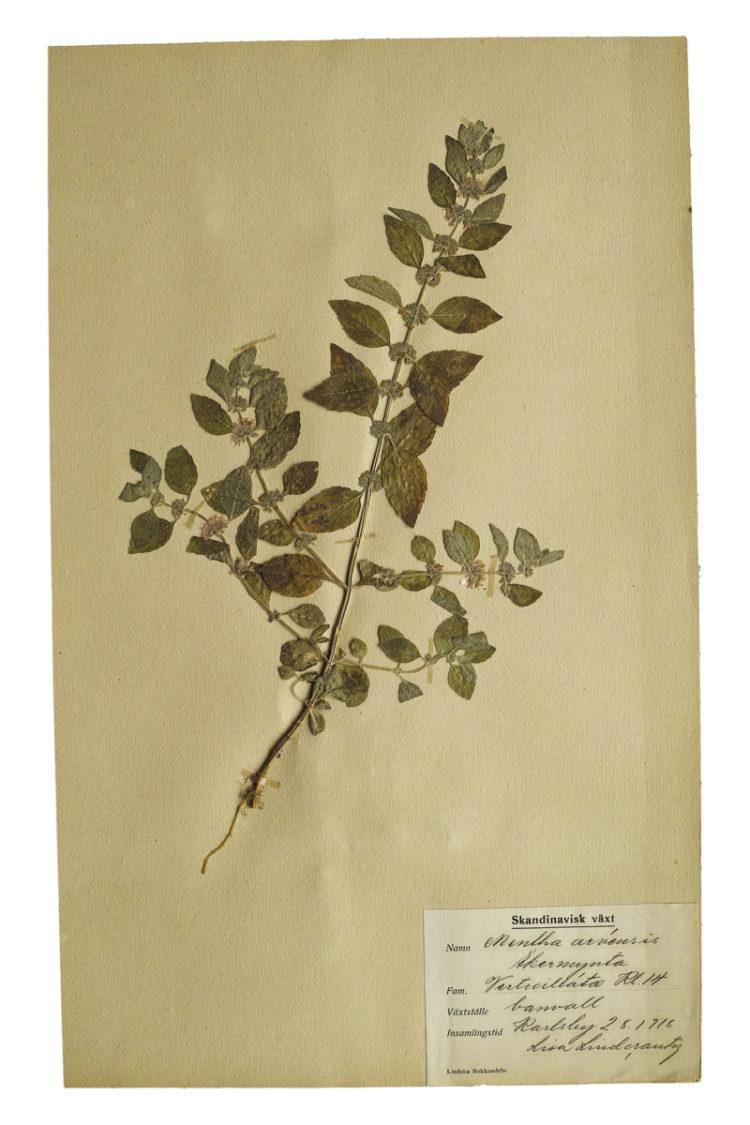 アンティーク植物標本