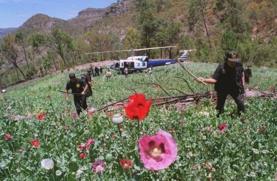 Mexico's military department known as SEDENA indicated that opium poppies have been replacing marijuana plants in the states of Chihuahua, Guerrero, Jalisco, Durango, Sinaloa and Oaxaca. (Photo: breitbart.com)