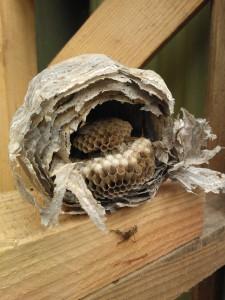 old-wasps-nest