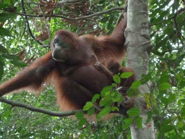 Mère ourang outan avec un bébé dans le parc de Gunung Leuser