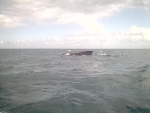 Baleine à bosses au large de l'île Sainte-Marie