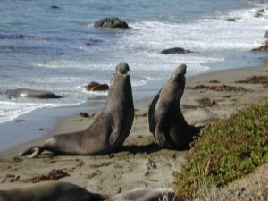 elephant_seal8_large