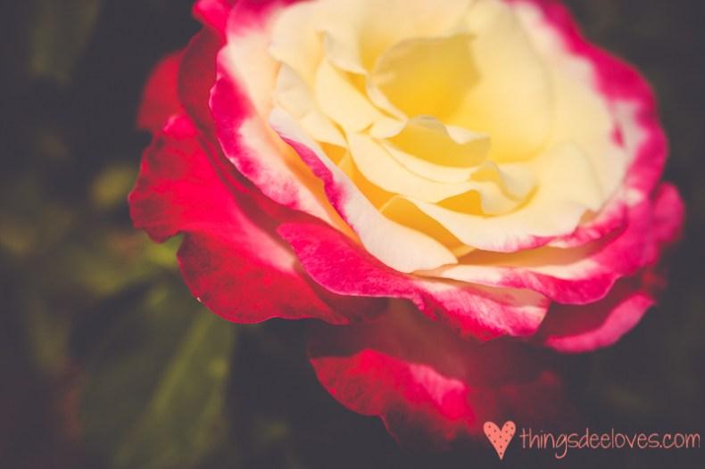chart farm roses-7