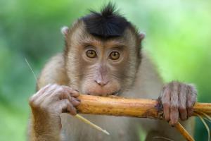 Macaque monkey on Borneo.