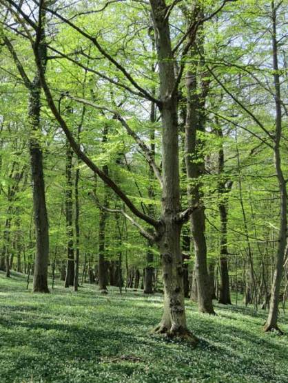Beech forest in the national park at Stenshuvud, Sweden.