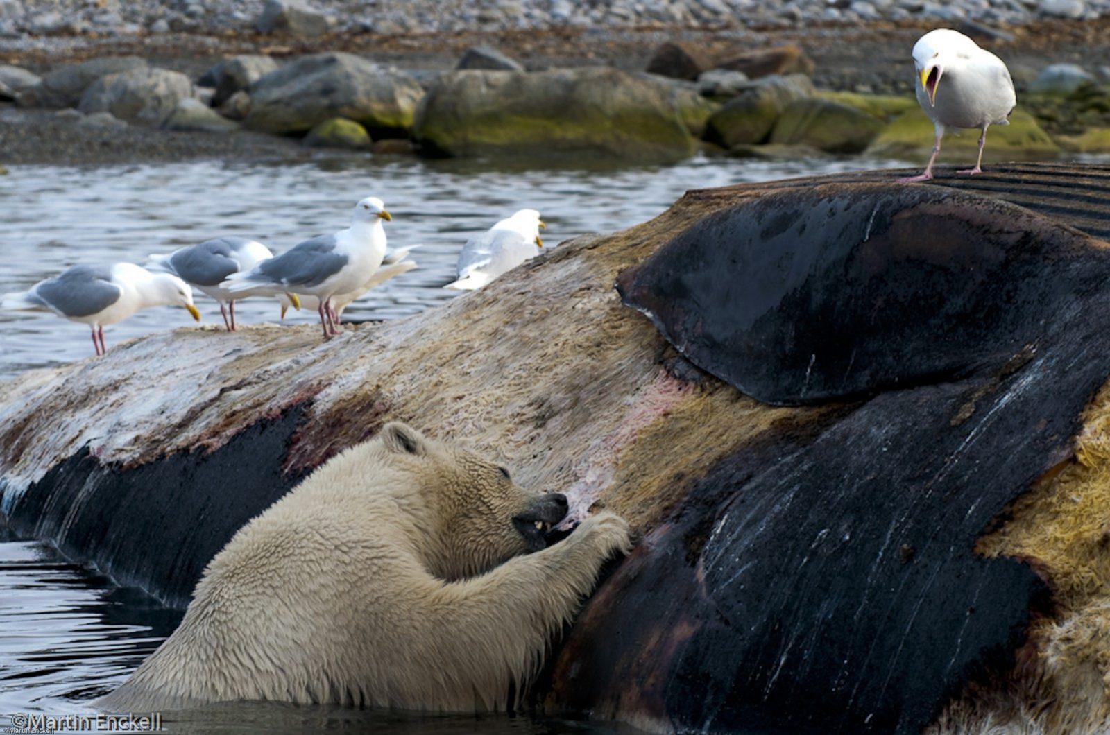 ©Martin Enckell, bear eating dead finwhale